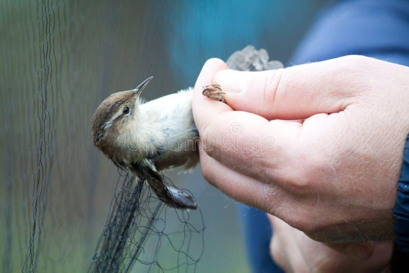 Крапивниковые болотоа стоковые фотографии rf