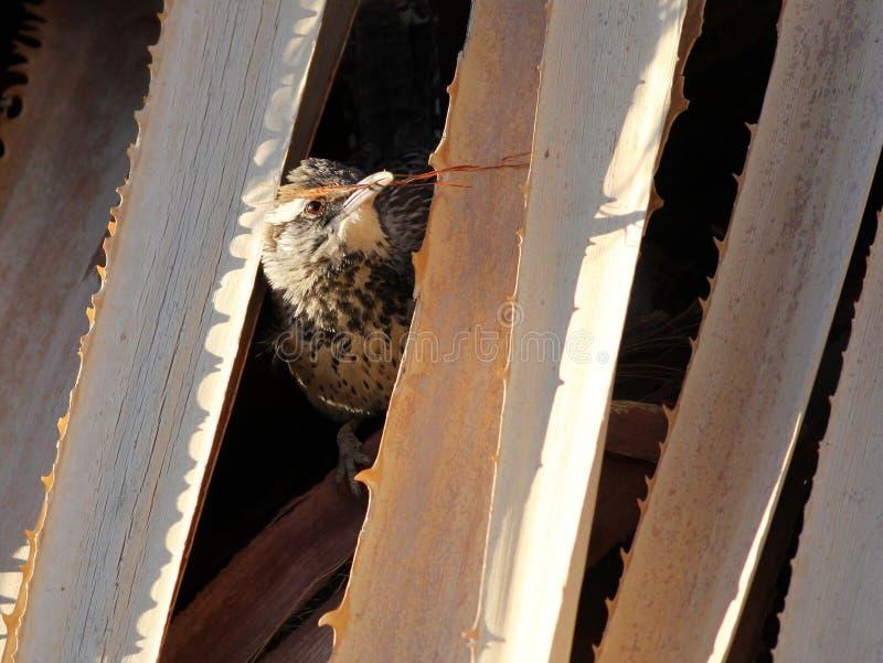 Крапивниковые кактуса - brunneicapillus кактусовой крапивники стоковые фотографии rf