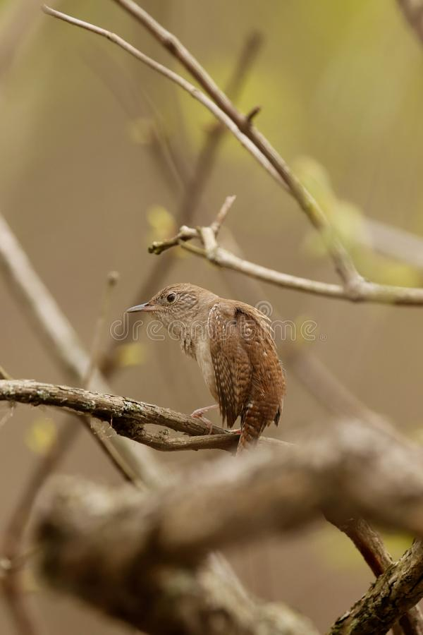Крапивниковые садить на насест на ветви весной стоковое фото rf