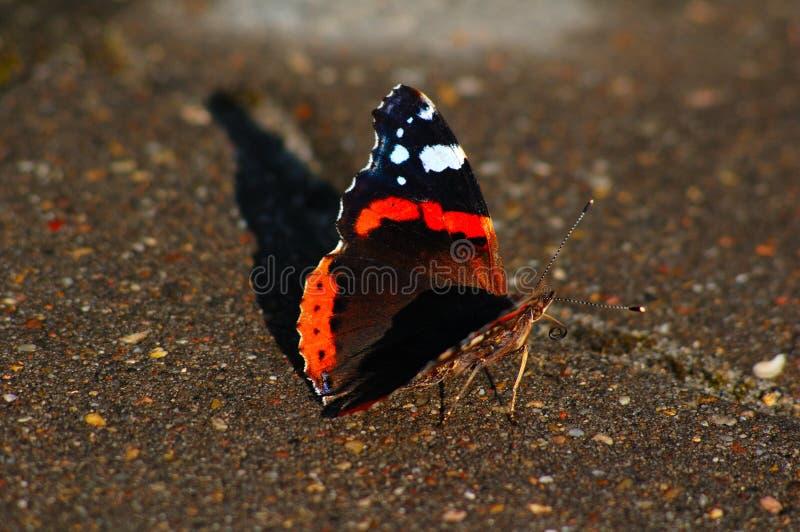 Крапивница бабочки встречает заход солнца стоковое фото