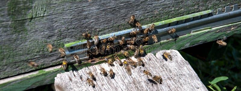Крапивница пчелы с пчелами на ей стоковое фото rf