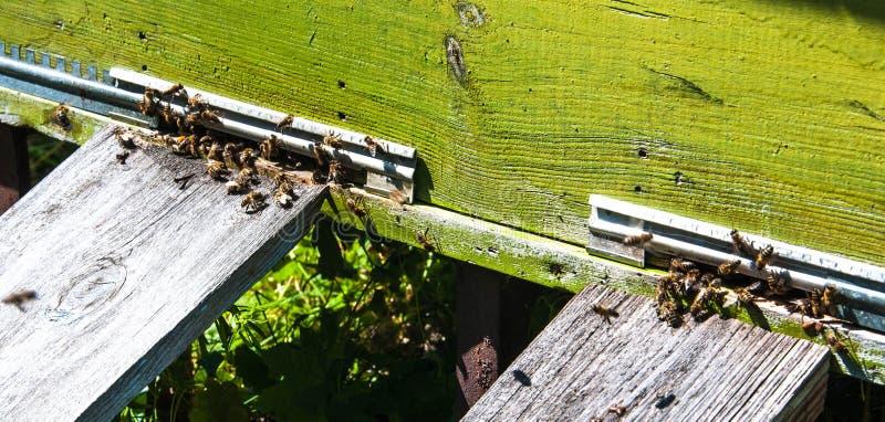 Крапивница пчелы с пчелами на ей стоковая фотография