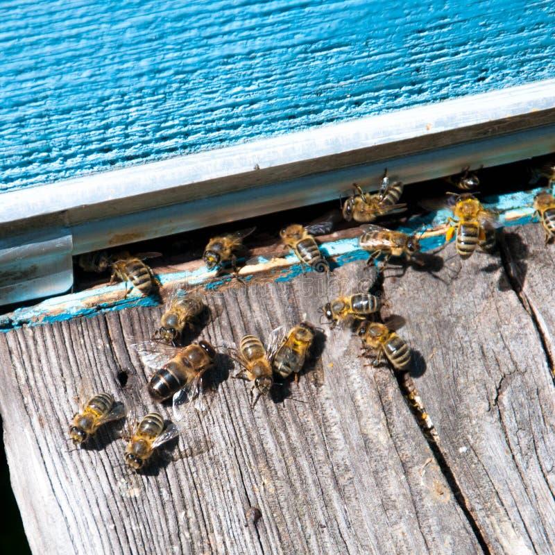 Крапивница пчелы с пчелами на ей стоковые фото