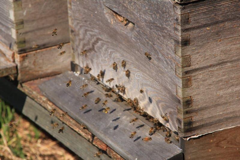 Крапивница с пчелами весной стоковая фотография