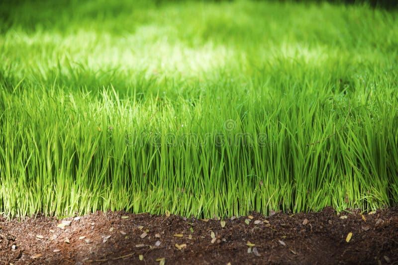 Красивая абстрактная рисовая посадка стоковые фото