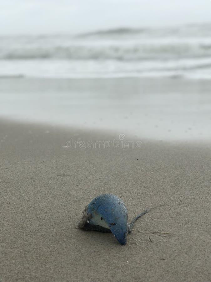 Красивая атлантическая португальская война ` человека o кладет на пляж в центральной Флориде стоковое фото