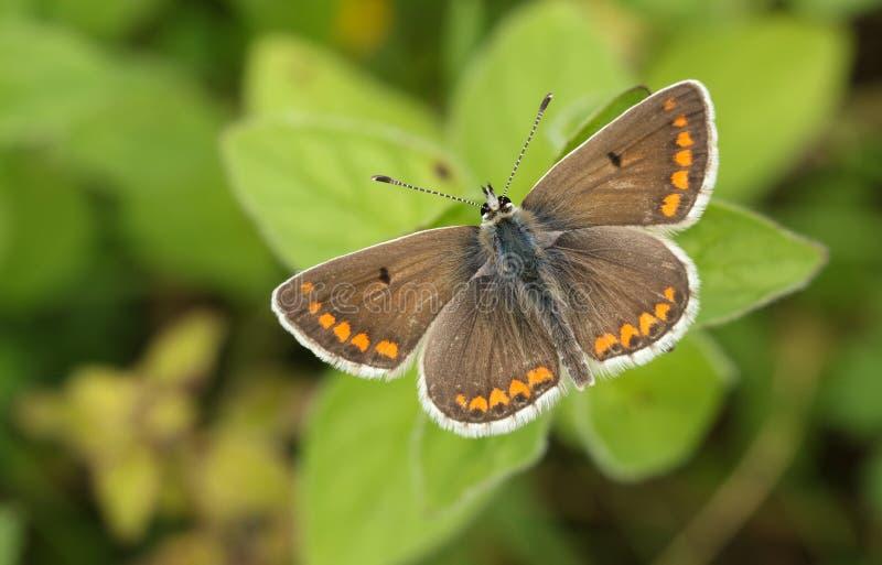 Красивая бабочка Брауна Argus, agestis Aricia, садясь на насест на заводе в луге стоковые изображения