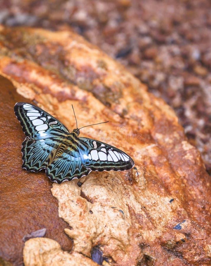 Красивая бабочка в природе стоковые фотографии rf