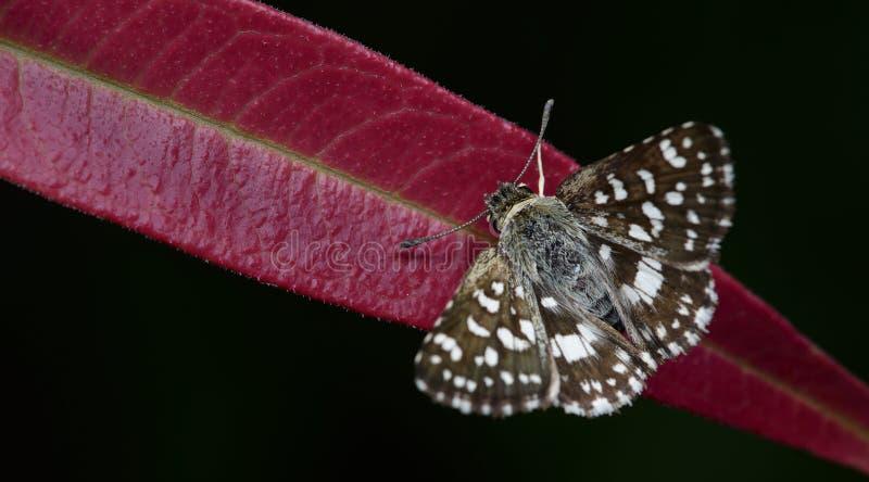 Красивая бабочка, индийский шкипер, galba Spialia стоковые фотографии rf