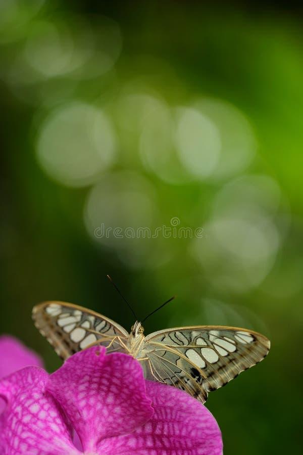 Красивая бабочка, клипер, Parthenos sylvia Бабочка отдыхая на зеленой ветви, насекомое в среду обитания природы Бабочка сидит стоковые изображения
