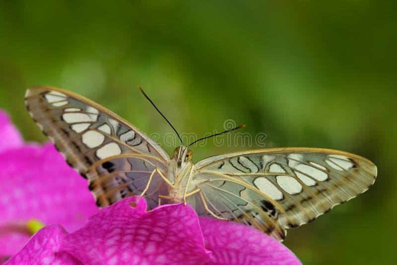 Красивая бабочка, клипер, Parthenos sylvia, отдыхая на зеленой ветви, насекомое в среду обитания природы, сидя на пинке будет стоковое фото