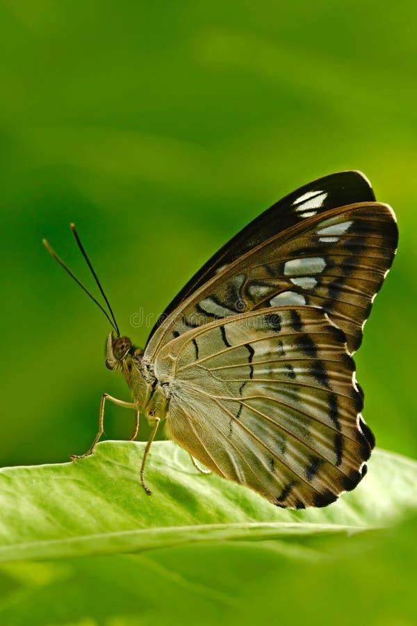 Красивая бабочка, клипер, Parthenos sylvia, отдыхая на зеленой ветви, насекомое в среду обитания природы, сидя на зеленом le стоковое изображение