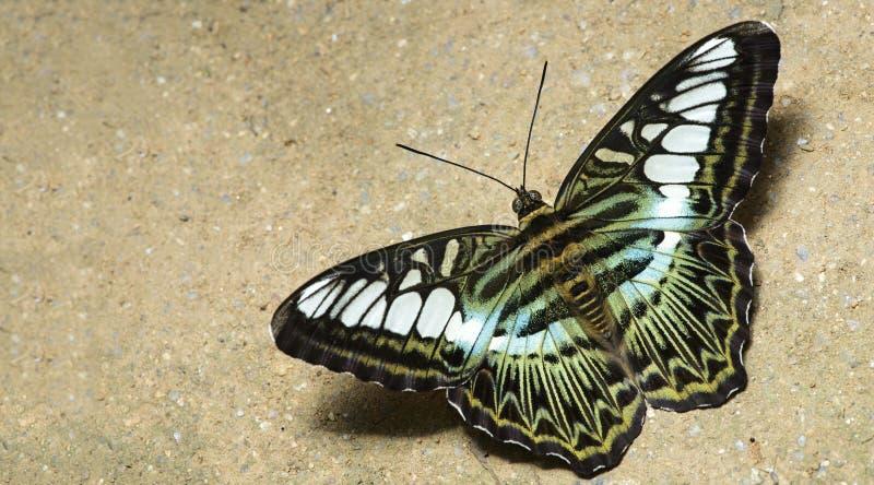 Красивая бабочка, клипер, Parthenos sylvia стоковая фотография rf