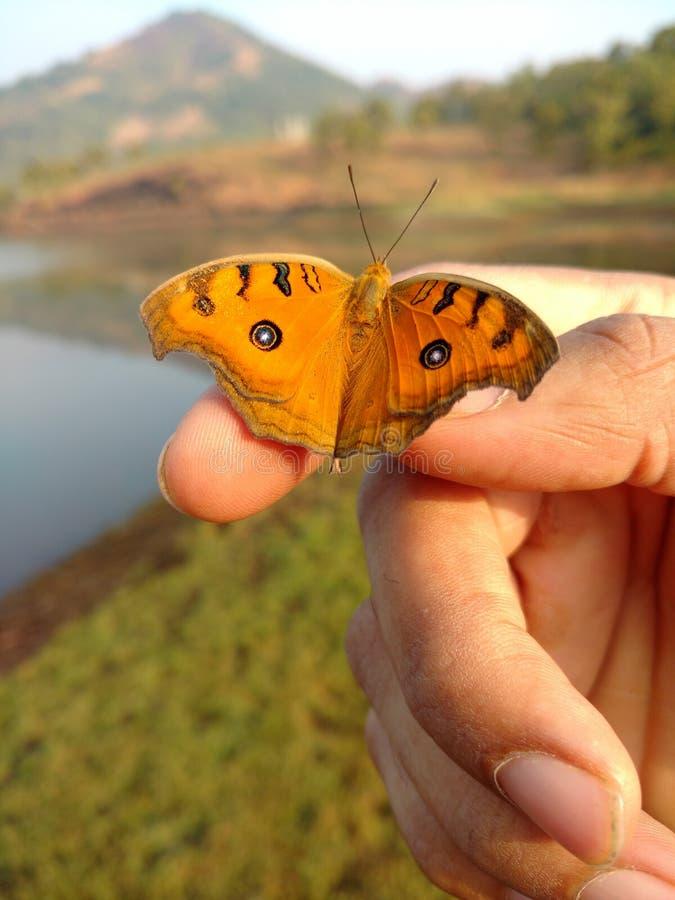Красивая бабочка на восходе солнца стоковое изображение rf
