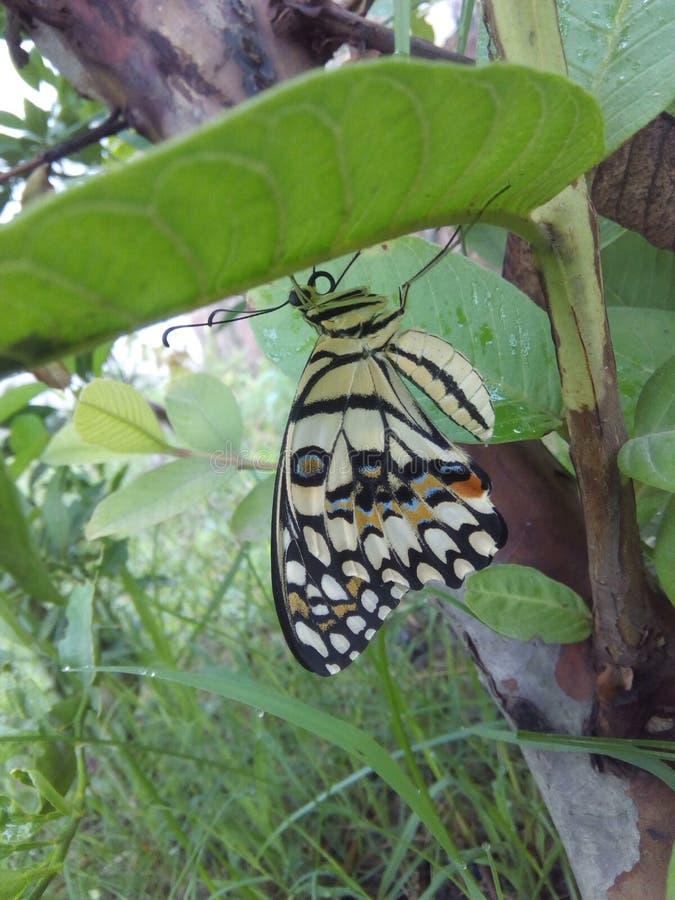 Красивая бабочка отдыхая под разрешением, близкий взгляд своих крыльев и картина цвета которая делают ее внушительный стоковая фотография rf