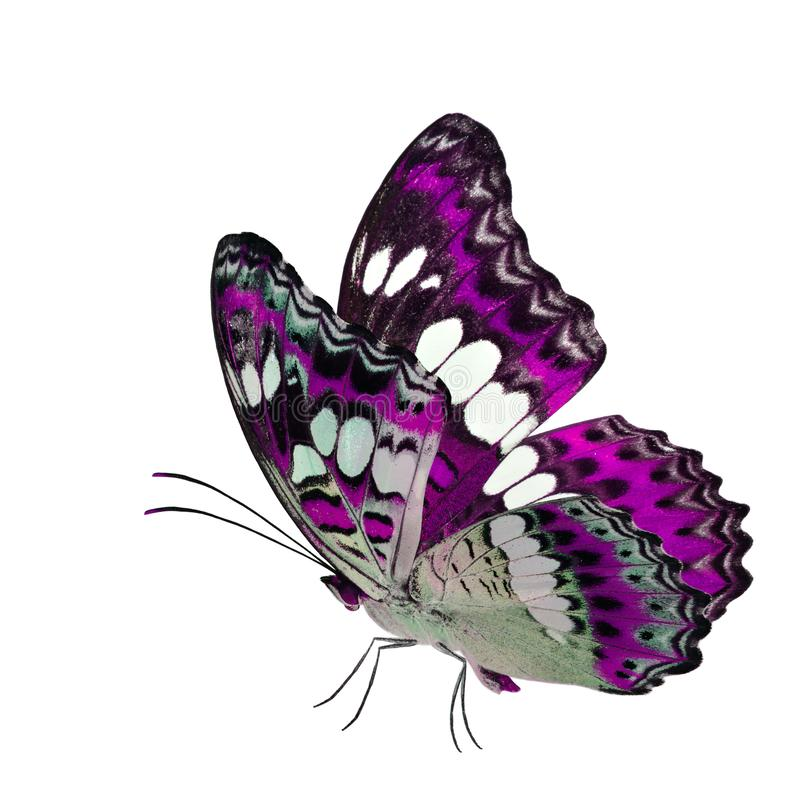 Красивая бабочка пинка летания, общий командир (procris moduza) с протягиванными крыльями в причудливом профиле цвета изолированн стоковые изображения rf