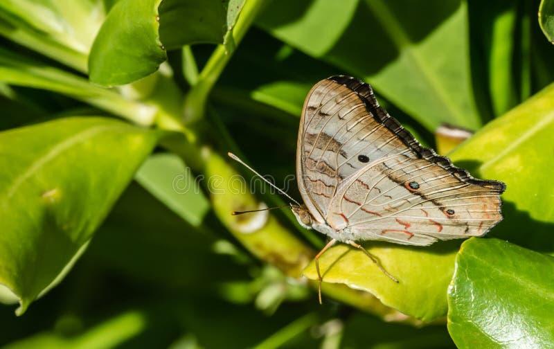 Красивая бабочка сидит на зеленых лист в Мексике стоковая фотография rf