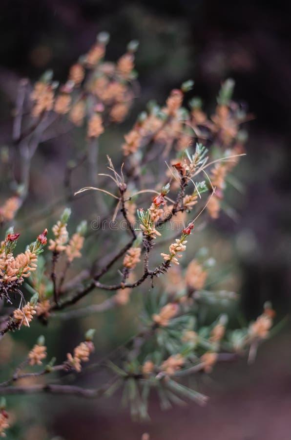 Красивая бежевая предпосылка обнаженных ветвей сосны, бежевых бутонов и молодых зеленых игл сосны стоковое изображение