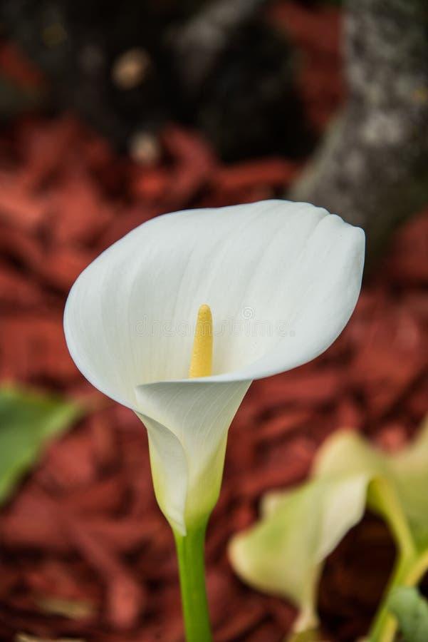 Красивая белая лилия Calla в зеленом цвете, красной предпосылке почвы стоковые изображения
