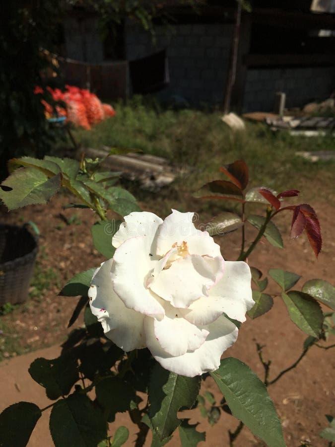 Красивая белая роза стоковое фото