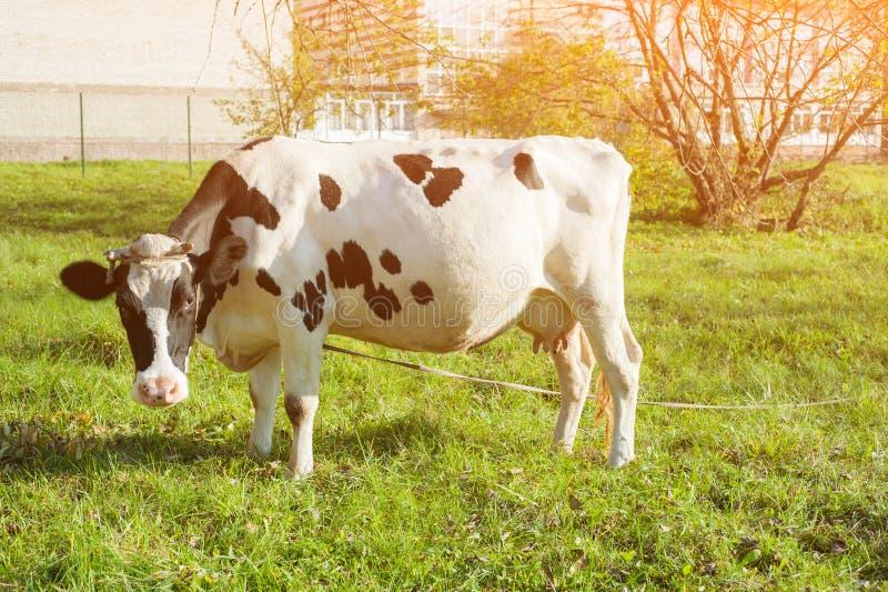 Красивая белая рыжеволосая молодая корова на выгоне смотря камеру стоковая фотография rf