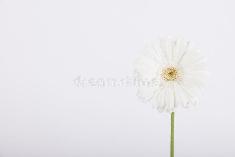 Красивая белая маргаритка на белизне стоковое изображение