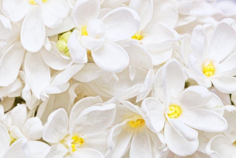 Красивая белая сирень. Макрос. стоковое фото