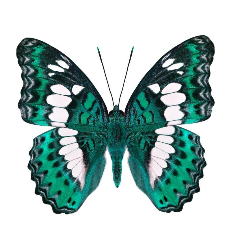 Красивая бледная ая-зелен бабочка, общий командир (procris moduza) под частями крыльев в причудливом профиле цвета изолированными стоковое фото rf