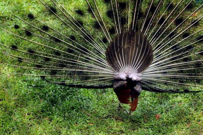 Красивая большая птица, распространяя пер длинного хвоста стоковое изображение