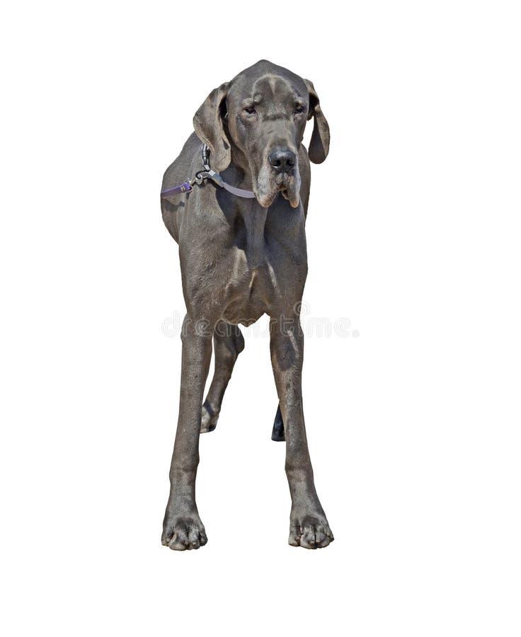 Красивая большая собака большего датчанина стоковые фотографии rf