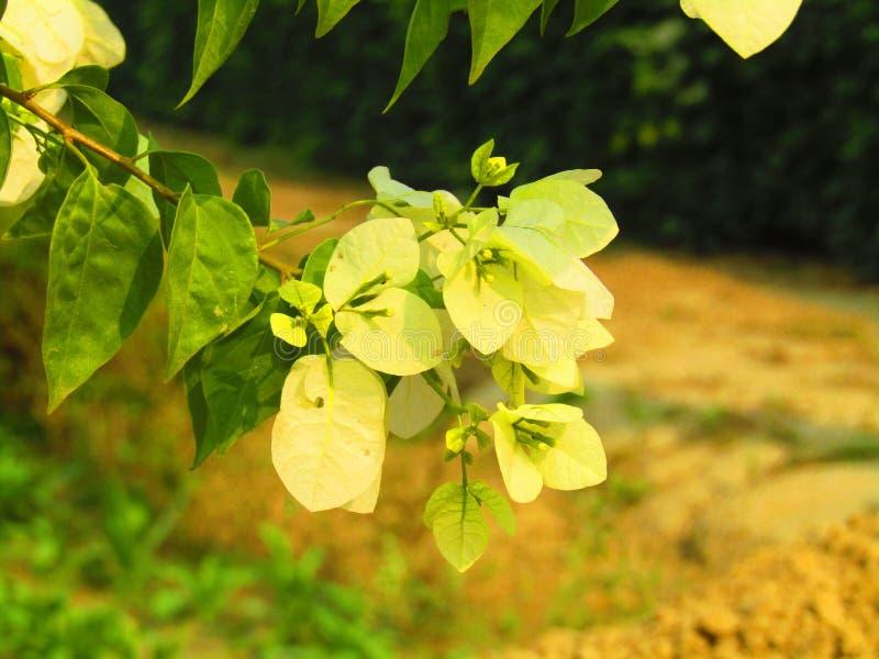 Красивая бугинвилия желтого цвета и белых цвета род терновых орнаментальных лоз, кустов, или короля дерева или желтых стоковое изображение rf