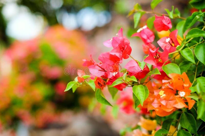 Красивая бугинвилия цветет зацветать в саде стоковое изображение
