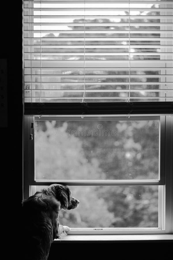 Красивая вертикальная черно-белая съемка взрослого отечественного золотого retriever смотря вне окно стоковое изображение