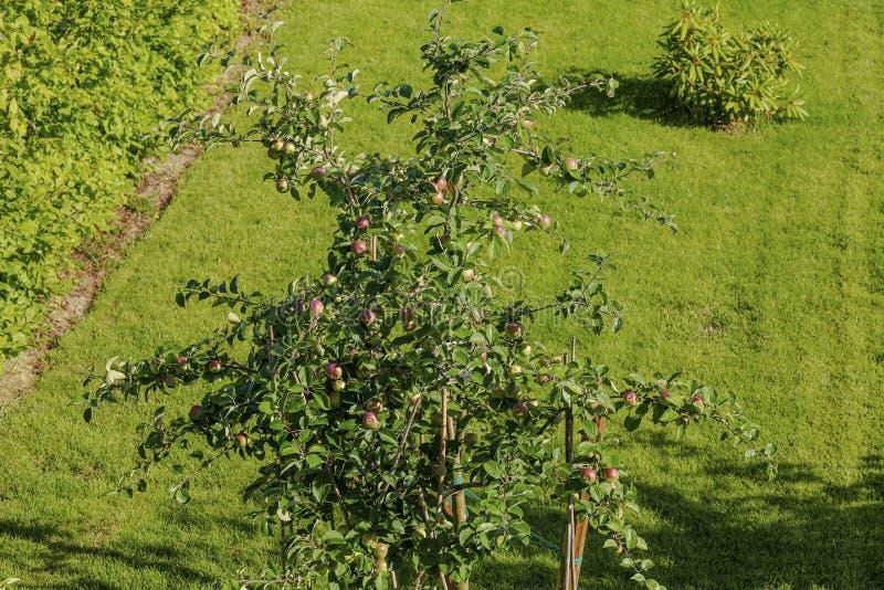 Красивая верхняя часть вниз с взгляда яблони вполне яблок на предпосылке зеленой травы стоковые изображения rf