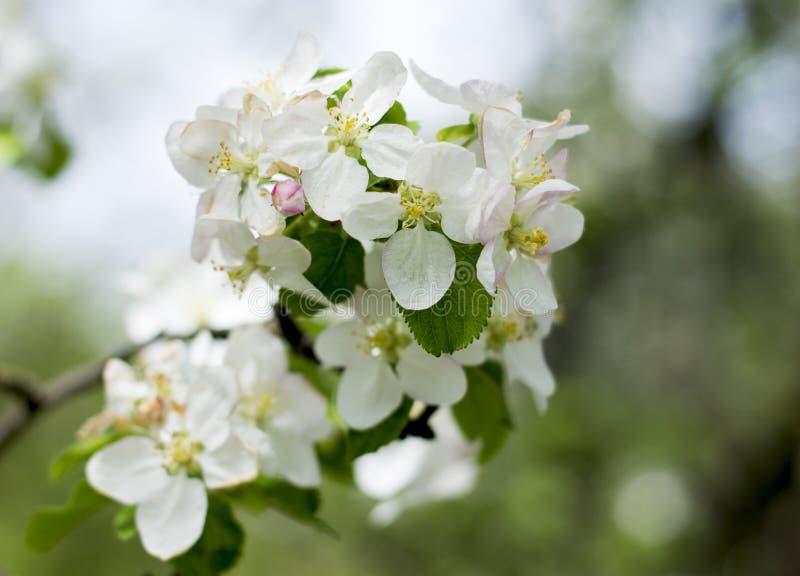 Красивая ветвь blossoming яблони в большинстве стоковые изображения