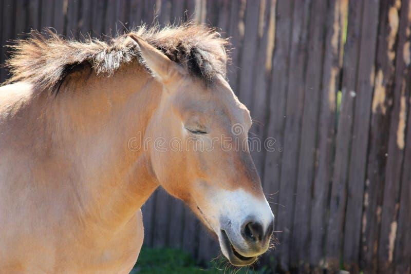 Красивая взрослая коричневая лошадь с закрытые глаза стоковые фотографии rf
