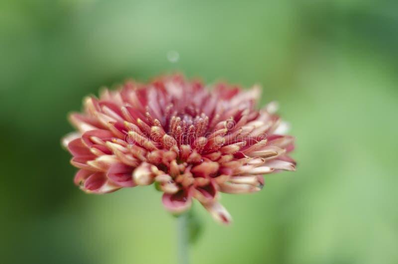 Красивая голова цветка хризантемы стоковое изображение