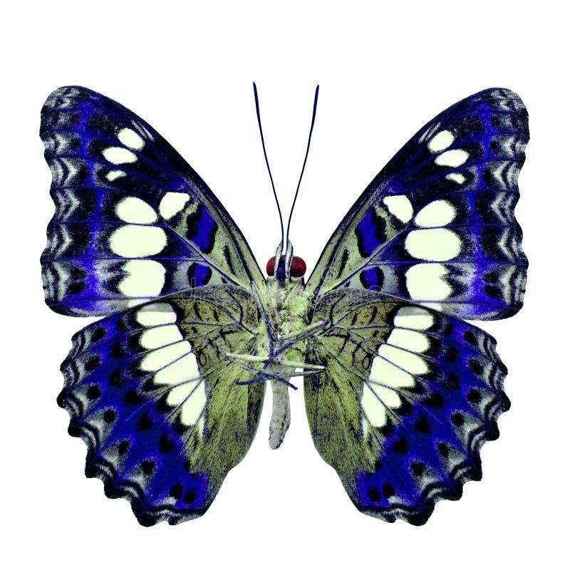 Красивая голубая бабочка, общий командир & x28; procris& x29 moduza; под крыльями в профиле цвета fancyl изолированными на белизн стоковое изображение rf