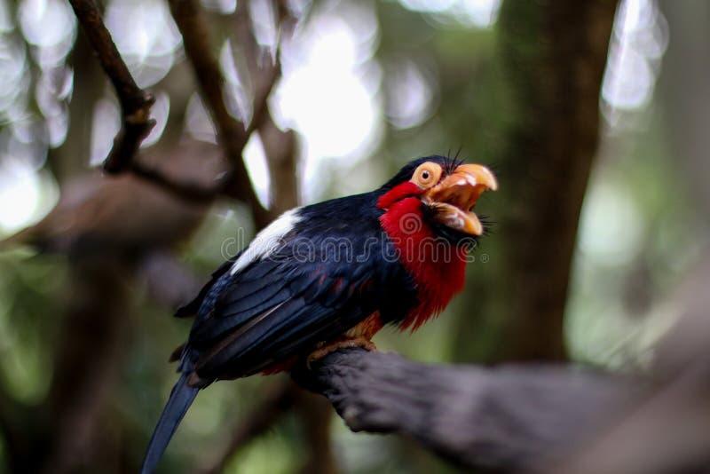 Красивая голубая и красная птица стоковые фото