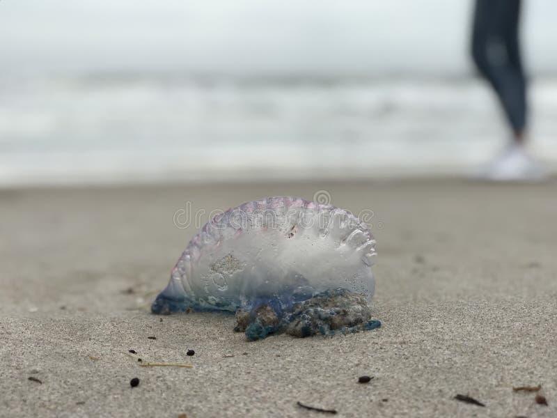 Красивая голубая и фиолетовая атлантическая португальская война ` человека o стоит перед девушкой на пляжах Флориды стоковые фото