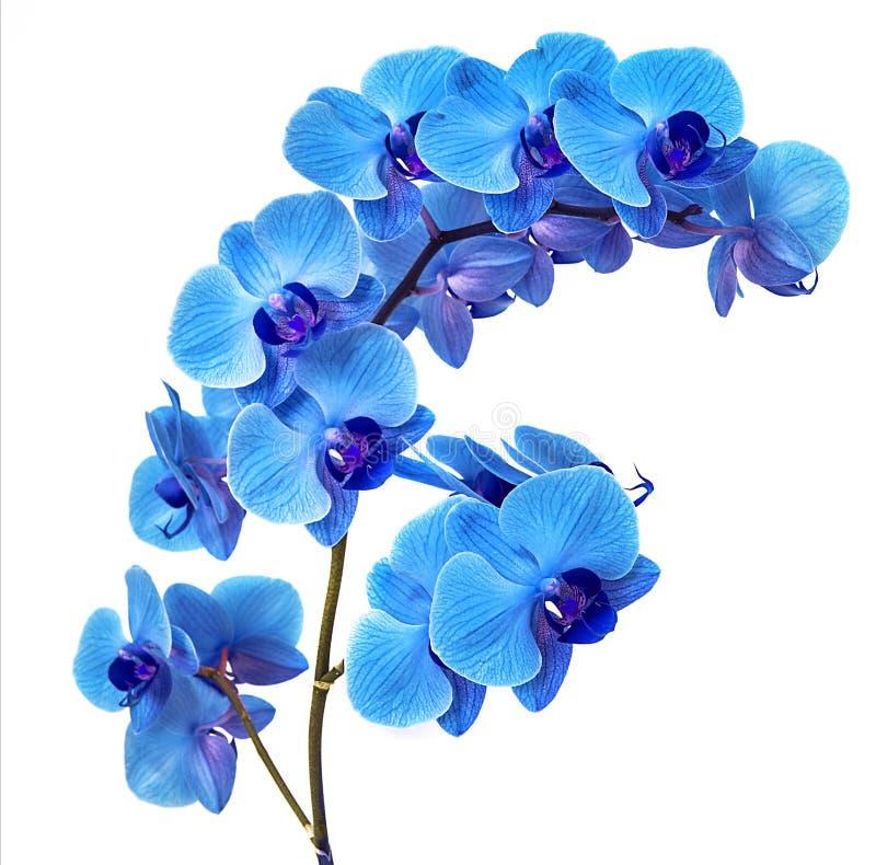 Красивая голубая орхидея без предпосылки, яркая голубая орхидея цветет на белой предпосылке стоковая фотография