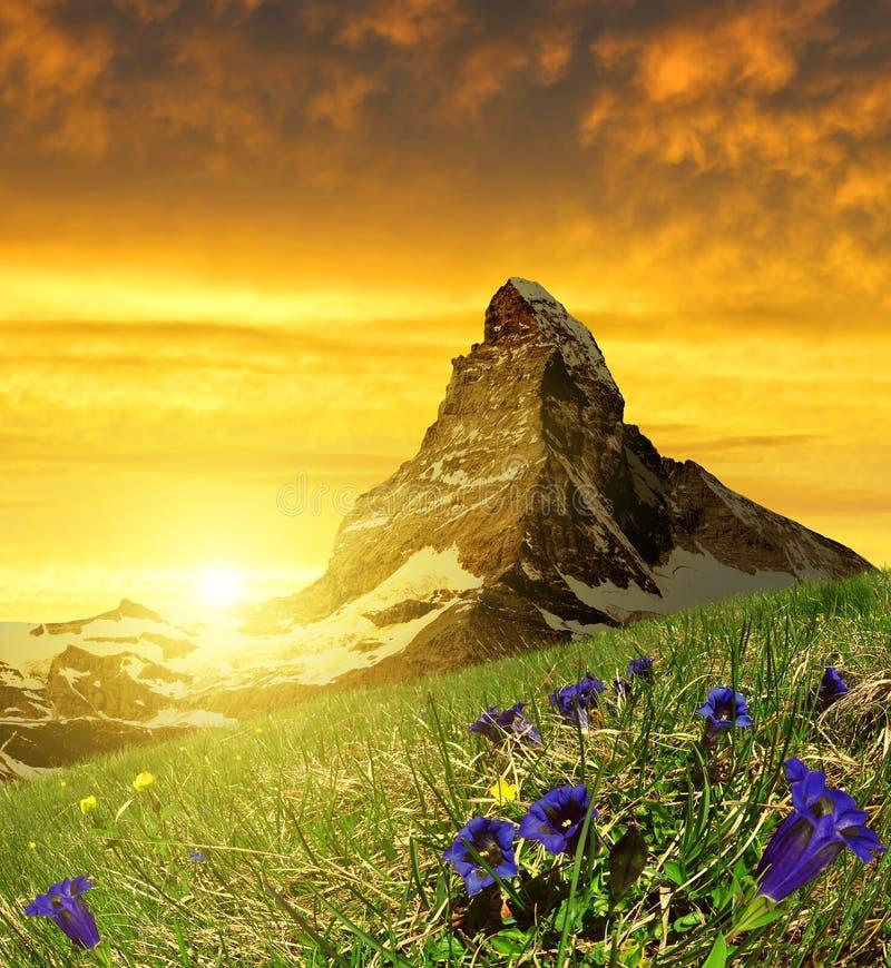 Красивая горечавка Маттерхорна горы на переднем плане зацветая на заходе солнца стоковые изображения