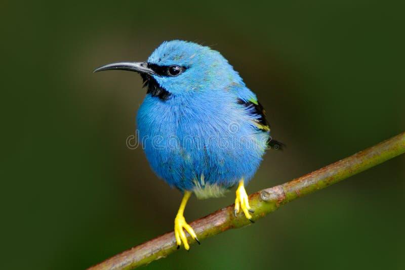 Красивая голубая экзотическая троповая голубая птица с желтой ногой, Никарагуа Светя Honeycreeper, lucidus Cyanerpes, экзотически стоковые изображения rf