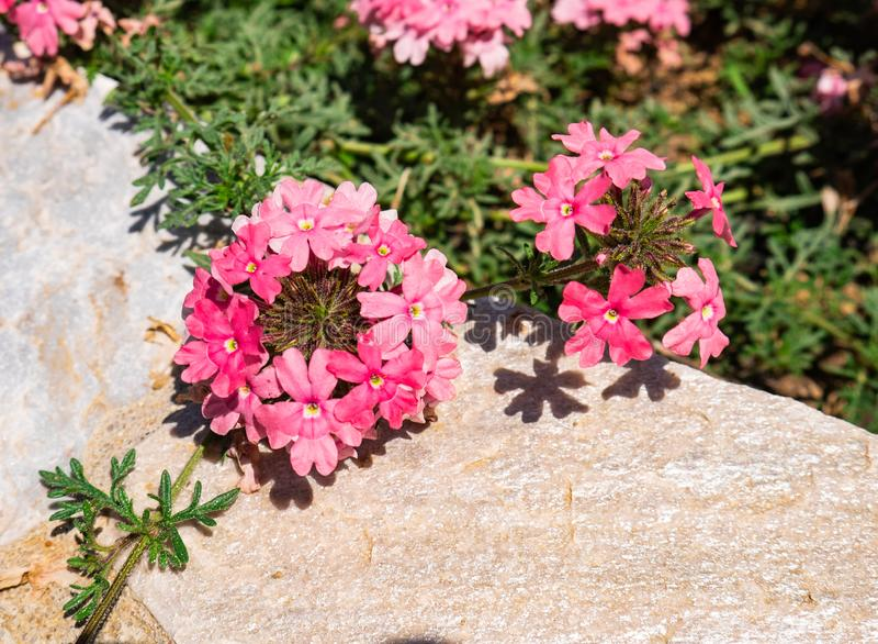 Красивая группа в составе розовые семги Tapien вербены цветков стоковое изображение