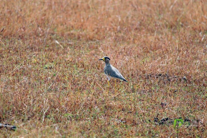 Красивая длинная птица ноги в ожидании поля стоковые фотографии rf
