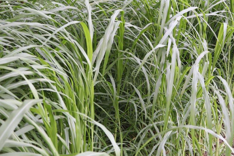 Красивая естественная трава стоковая фотография rf