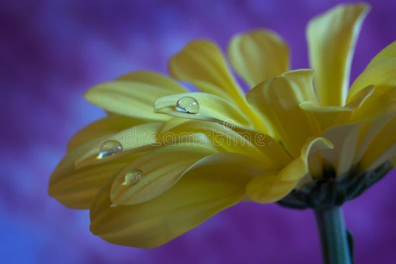 Красивая желтая вода whit цветка хризантемы падает на фиолетовую предпосылку стоковая фотография rf