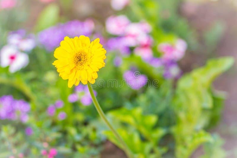 Красивая желтая гибридная маргаритка Gerbera или Barberton цветет (hybrida jamesonii Gerbera) на flowerbed Jamesonii Gerbera, так стоковая фотография