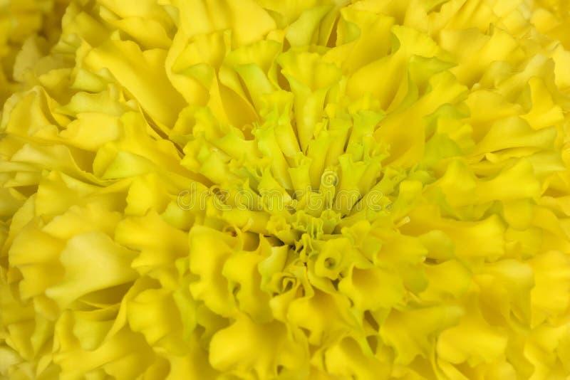 Красивая желтая предпосылка цветков хризантемы стоковое изображение rf