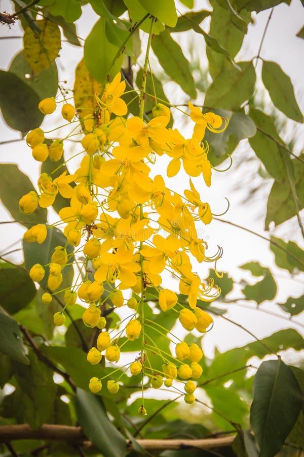 Красивая желтая фистула кассии цветка ливня на дереве Фистула кассии также как дерево золотого дождя стоковая фотография
